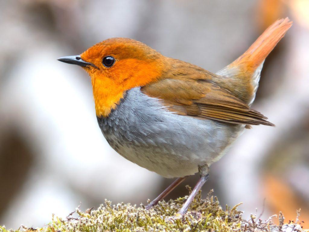 ロビン コマドリ 鳥 鳥類 羽根