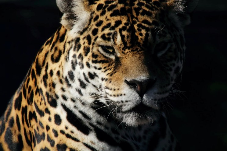 FOFA | The Jaguar Breeding Project.