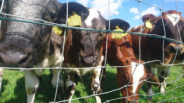 近所の牛-min