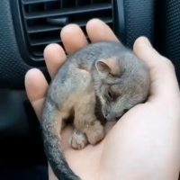 This little one was rescued by a farmer in Australia recently from the bushfires...