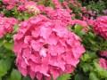 あじさいの剪定の時期や仕方!花が咲かないのは切りすぎかもしれません