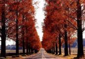 メタセコイアの紅葉の見ごろの時期やアクセス!滋賀県マキノ町