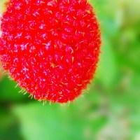 The Rarest Wild Raspberry of the Philippines