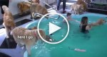VIDEO: Dog Surprised by Massive and Wild Golden Retriever Pool Party