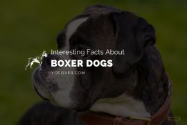 Facts About Boxer Dogs