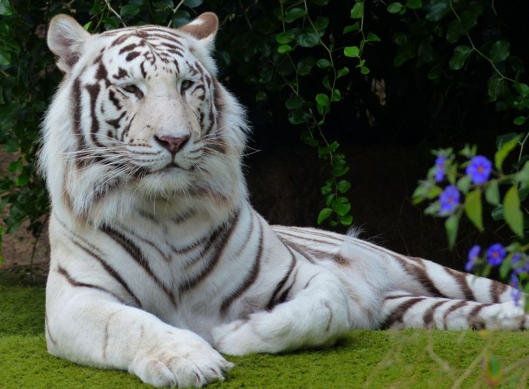 Facts About White Tiger
