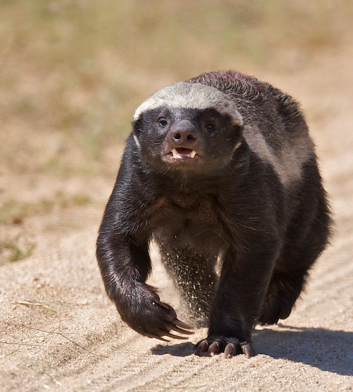 Facts About Honey Badgers