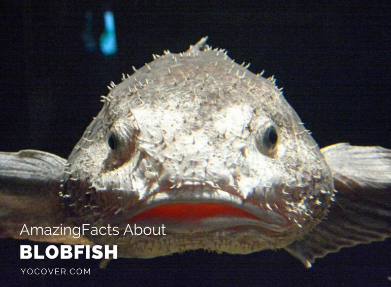 Facts About Blobfish