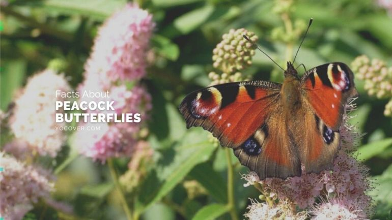 facts about peacock butterflies