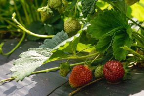 Pick Your Own Strawberries - Just About Ready!