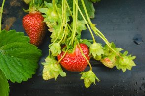 Pick Your Own Strawberries - Lynchburg VA - Yoders' Farm