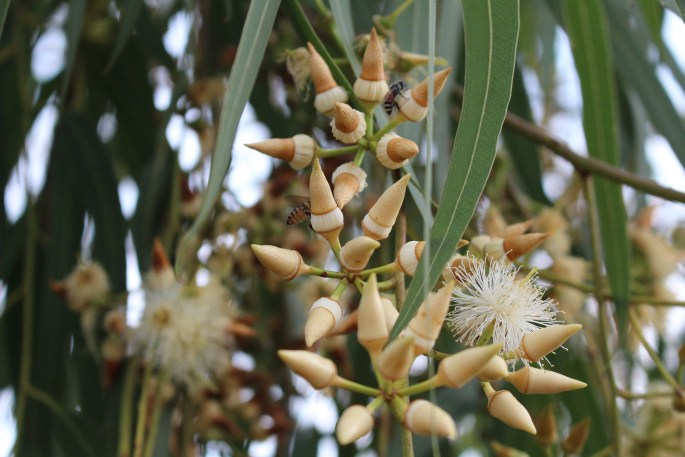 EucalyptusFlowers-Vuduyen