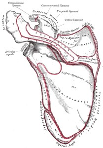 Public domain image from Gray's Anatomy 1918 showing scapula (shoulderblade). In yoga asana the shoulderblade should freely move and stabilize the arm in place relative to the body. Shoulders back and down