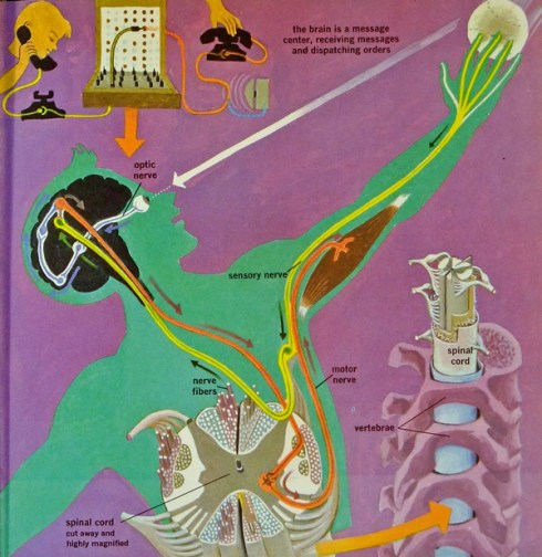 From The Human Body, 1959, illustrations by Cornelius De Witt