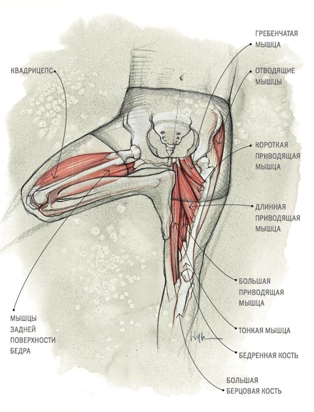 Los músculos de la cadera: estudio de la anatomía, para profundizar ...