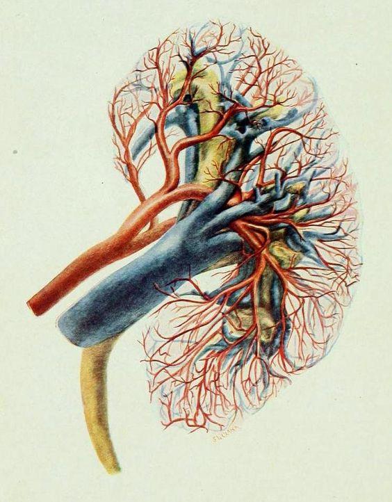 Die Nieren aus Sicht des Yoga
