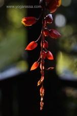 Lake-Atitlan-flowers-thunbergia_5602