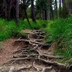 a path with tree roots