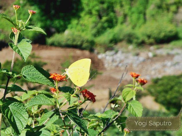 Kupu-kupu kecil ini sedang banyak-banyaknya musim ini. Efek sampingnya, ulat jati juga tidak kalah banyak.