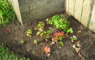 Planted Strawberries