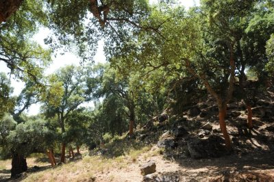 Cork oak forest