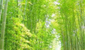 日本国内での竹の開花の歴史