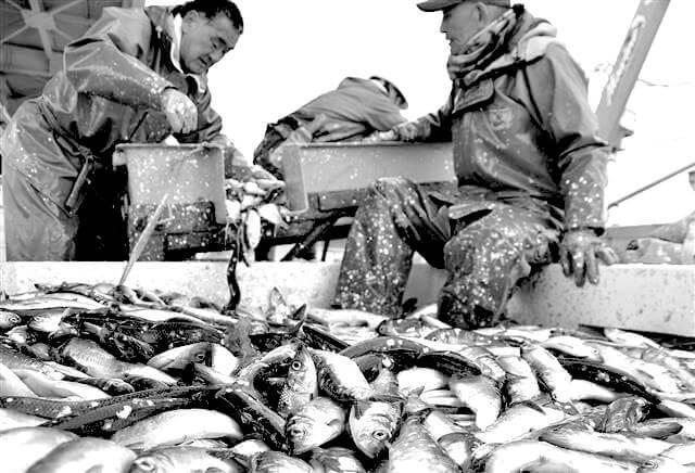 ニシン漁の様子