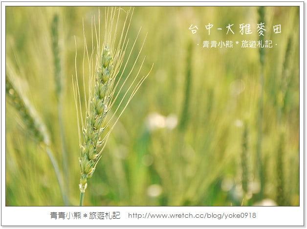 下大雅小麥文化節2013.大雅麥田正金黃