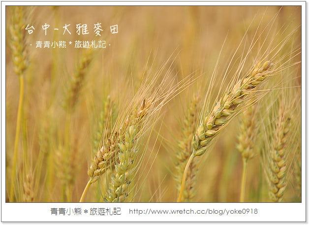 大雅小麥文化節2013.大雅麥田正金黃