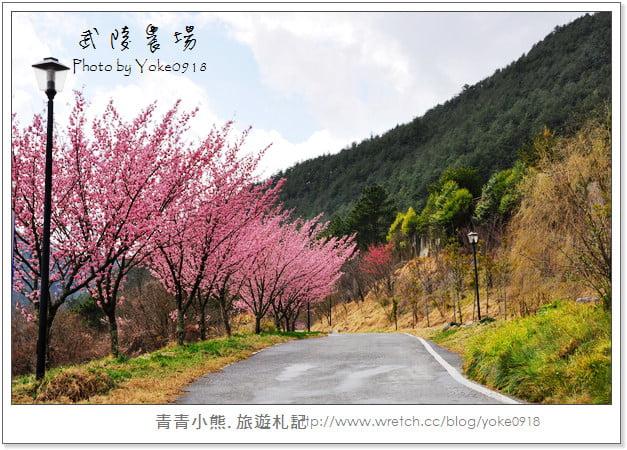 2011武陵農場櫻花