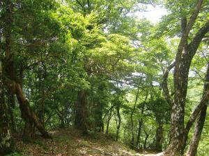 山頂近くのブナ林