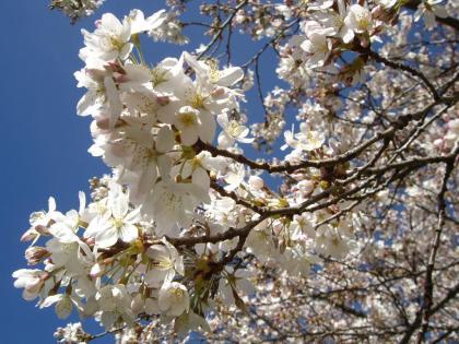 クライストチャーチ 桜 カンタベリー大学