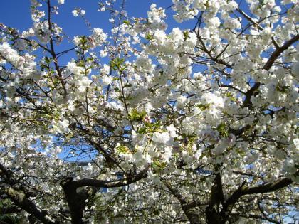 クライストチャーチ 桜