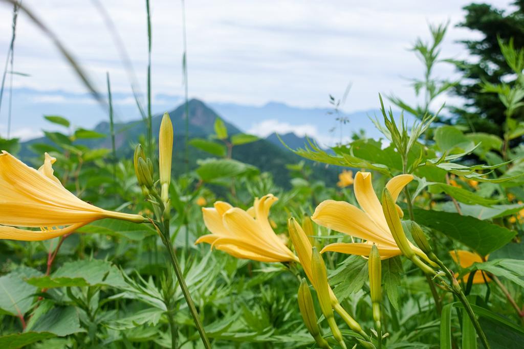 2307横手山には、ニッコウキスゲのつぼみがたくさん。まもなく咲き乱れますよ