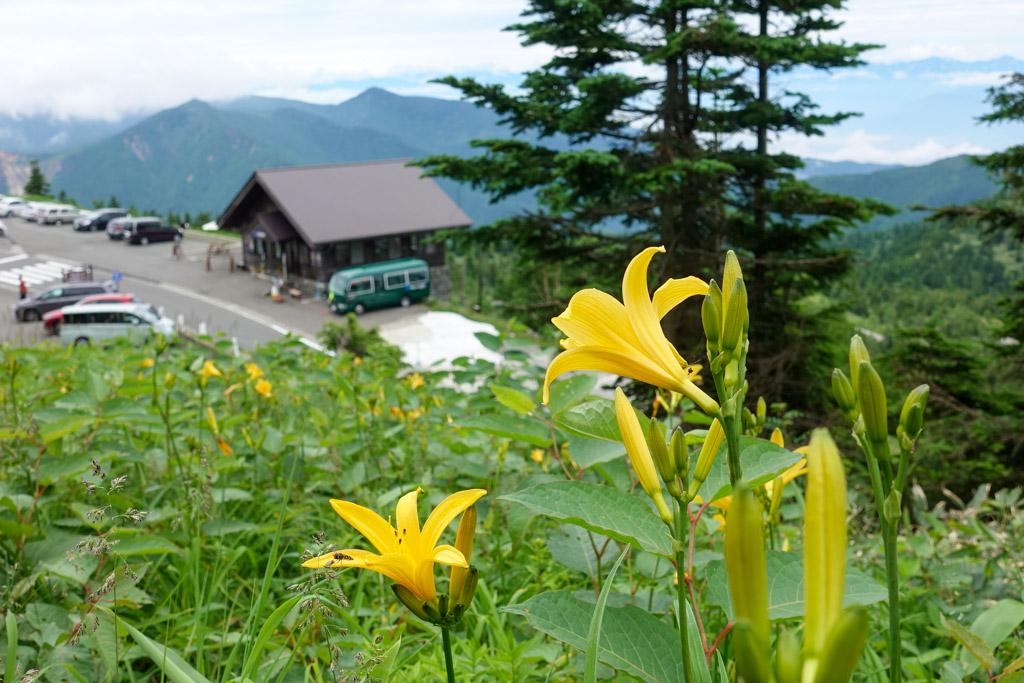 ニッコウキスゲが横手山スカイレーター付近に咲き始めました。