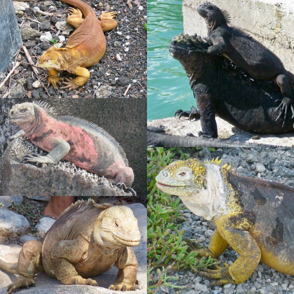 why are the galapagos islands unique, iguanas