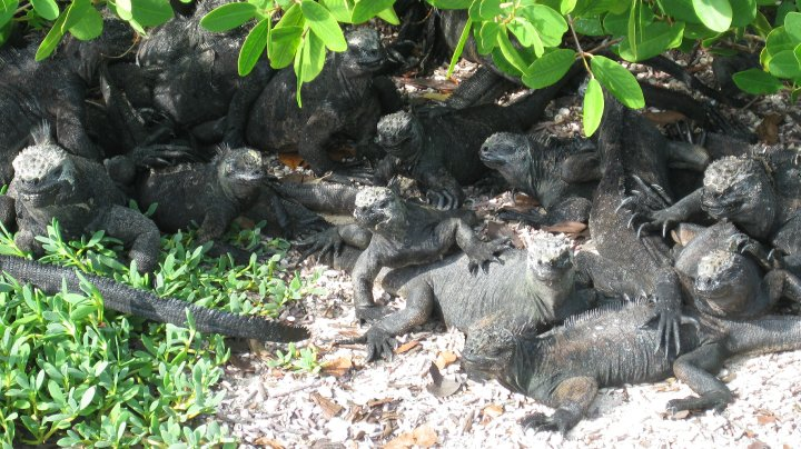 iguanas at Tortuga Bay, Santa Cruz Island