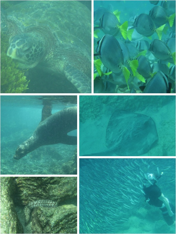 Snorkelling Galapagos islands, sea turtle, snorkelling with sea lion, why are the Galapagos islands unique