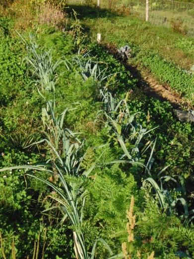 companion planting carrots and leeks
