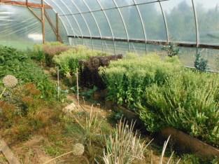 greenhouse lettuce seeds