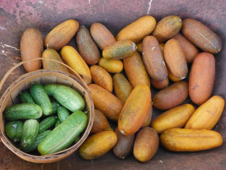 national pickling cucumber saving seeds