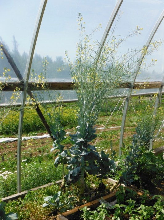 tancook island cabbage in bloom
