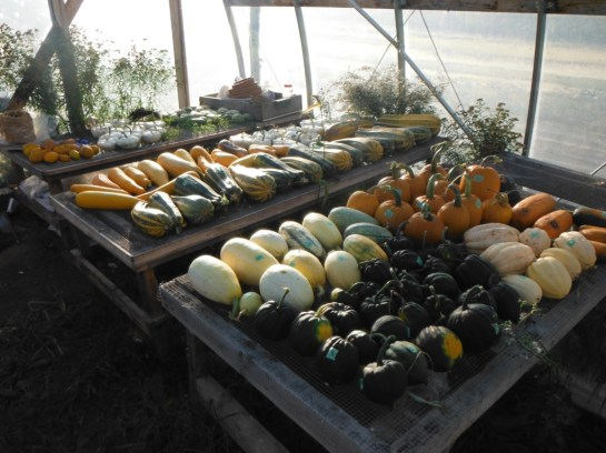 winter squash curing in greenhouse