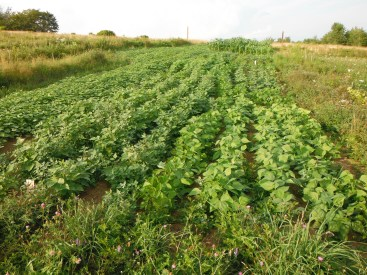 bean and buckwheat patch 2019