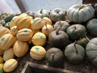 2020 squash ripening in greenhouse sept 2