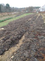 garlic mulched with seaweed