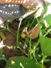hand pollinating squash