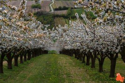 2019 04 06 - Les cerisiers de Jussy - YET89-21