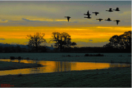 geese-flying-past