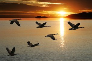 geese_1050x700